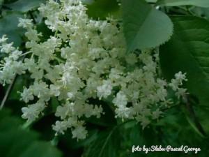 tinctura din flori de soc preparare)